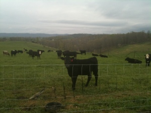 Cows at Laughing Water Farm in Southwest Virginia